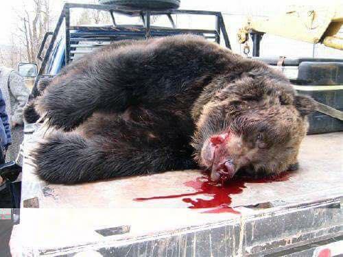Abbattuta l'orsa KJ2